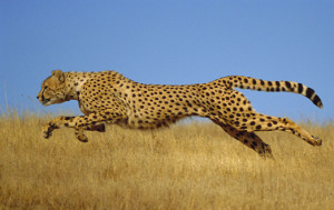 Cheetah (Acinonyx jubatus) running, Kenya (non-ex) WARNING - This image may only be used for publicity purposes in connection with the broadcast of the programme as licensed by BBC Worldwide Ltd & must carry the shown copyright legend. It may not be used for any commercial purpose without a licence from the rights holder. Andy Rouse/Naturepl.com